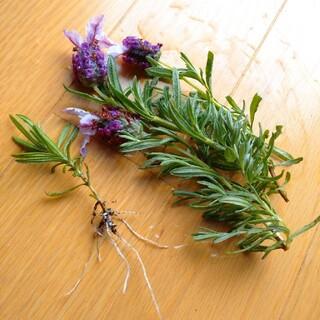 フレンチラベンダー  苗、挿し穂のセット(その他)