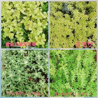 多肉植物 セダム12種のうち2種(その他)