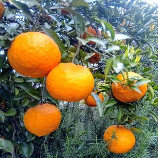 大人気!あまなつ 甘夏 4個 完全無農薬有機自然栽培 オーガニック 甘夏みかん(フルーツ)