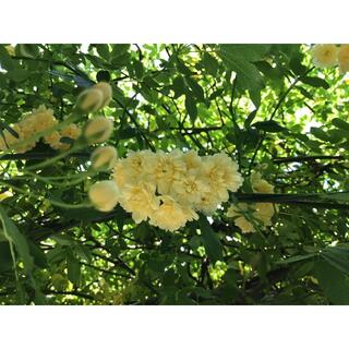 モッコウバラ 黄色 イエロー  挿し穂 挿し木 枝 オーガニック100%(その他)