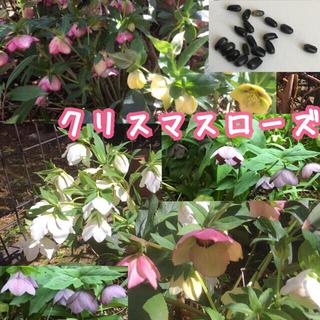 91)クリスマスローズ種子15粒(タネ自家採取花植物(その他)