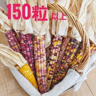 グラスジェムコーン 種 150粒(ドライフラワー)