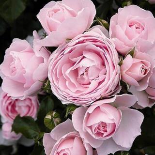 薔薇 苗 ピンク FL ハンスゲーネーバイン シュラブローズ ②(その他)