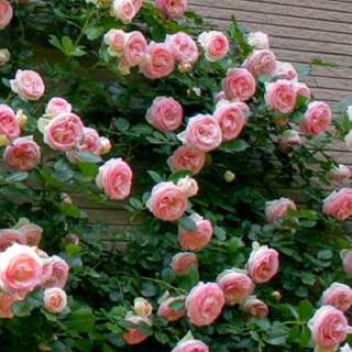 薔薇 苗 CL ホワイトピンク ピエールドゥロンサール つるバラ ①(その他)