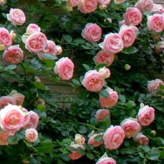 薔薇 苗 CL ホワイトピンク ピエールドゥロンサール つるバラ ②(その他)