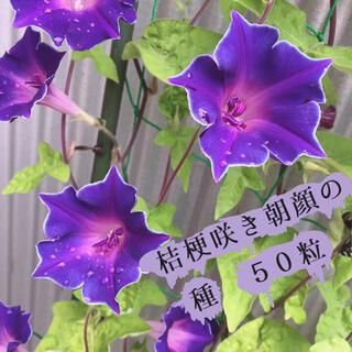 桔梗咲き朝顔の種 50粒 ♡(その他)