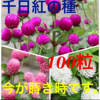 千日紅の種 3種(ドライフラワー)