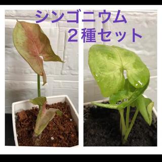 ピンクとグリーンの2種セット シンゴニウム 抜き苗(その他)