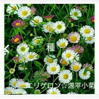 エリゲロン種☆(プランター)