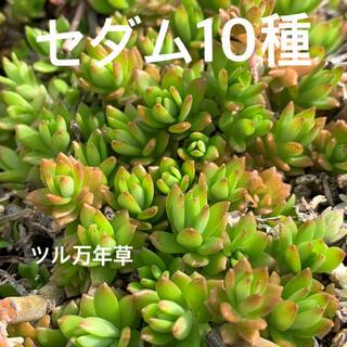 多肉植物 セダム10種A カット苗(その他)