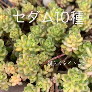 多肉植物 セダム10種B カット苗(その他)