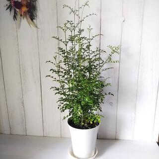 ①シマトネリコ‼️定番シンボルツリー観葉植物❗️受皿付!丈夫で育てやすい(プランター)
