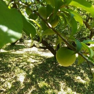 自然栽培 南高青梅 M(約3~3.3cm) 3kg 無肥料 無農薬 鹿児島県産(フルーツ)