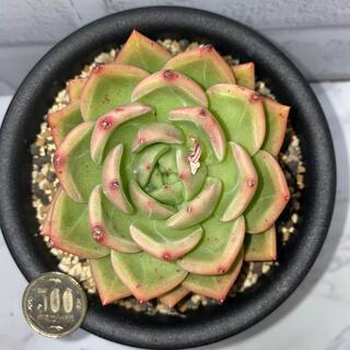 1 多肉植物 韓国苗 白夜(ホワイトナイト)(その他)