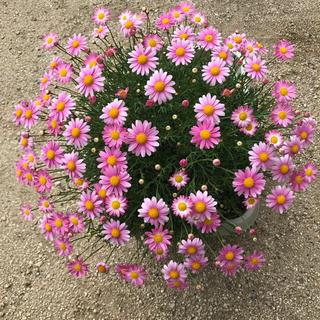 16 マーガレット 苗 ピンク 蕾6個付き 根付き(その他)