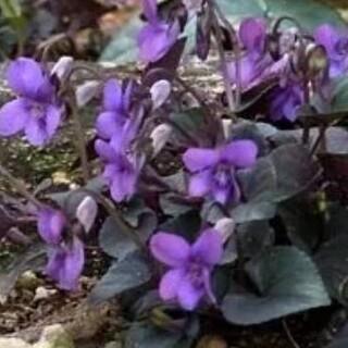 花種 ビオララブラドリカ(その他)
