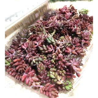 A多肉植物 赤く紅葉するセダム コーラルカーペット 70苗 即購入歓迎(その他)