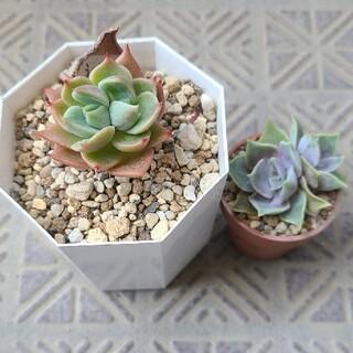 多肉植物 うぐいす、藤紫 set(その他)