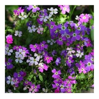 小花がいっぱい♪バージニア ストックの種(その他)