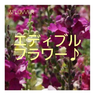 食べられる金魚草♪エディブル フラワー(その他)