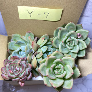 Y-7 多肉植物 韓国苗 実生苗 寄せ植えセット(その他)