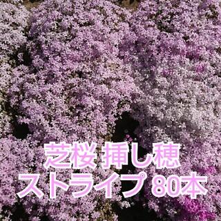 芝桜 挿し穂 ストライプ 80本(その他)