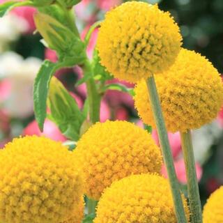 【黄色いぽんぽん】クラスペディアグロボーサ☆ゴールドスティック 種 20粒!(プランター)