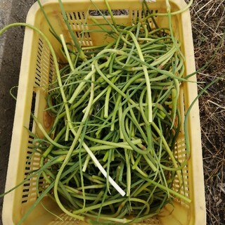 特価 国産ニンニクの芽 無農薬 400g(野菜)