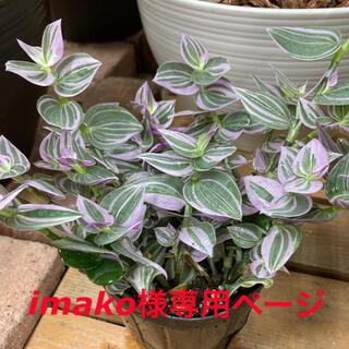 観葉植物 トラディスカンティア ラベンダー 苗(プランター)
