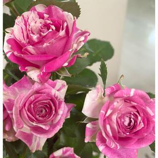 バラ苗 切花品種 ピンクとホワイトの絞り 薔薇(その他)