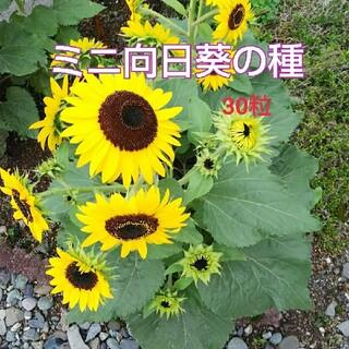 ミニ向日葵の種(その他)