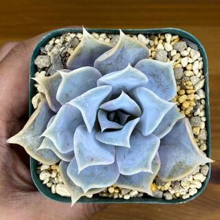 多肉植物 リラシナ × ゴールドマニー 根付きボーボー 抜き苗 交配種(その他)