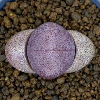 多肉植物 紫帝玉 微根 抜き苗 新根出てます 多肉(その他)