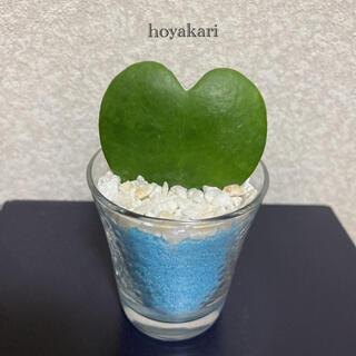 ホヤカリー(ラブハート)多肉植物(ドライフラワー)