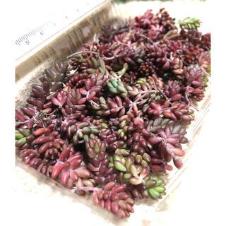 わ多肉植物 赤く紅葉するセダム コーラルカーペット 苗70個 即購入歓迎(その他)