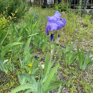 アヤメ  紫(野菜)
