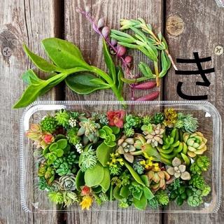き 多肉植物  カット苗 1パック つぶつぶ多肉+オマケ(その他)