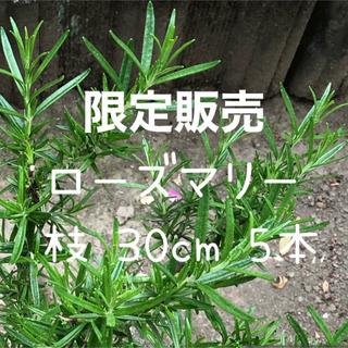 限定販売 フレッシュ ローズマリー 切り枝 30cm 5本 100g 無農薬(ドライフラワー)