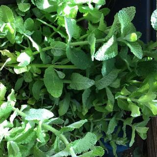食用 アップルミント 生葉 カット茎 自然農法 完全無農薬無化学肥料有機栽培(野菜)