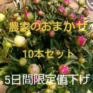 【芍薬】しゃくやく 農家のおまかせ 10本セット(その他)