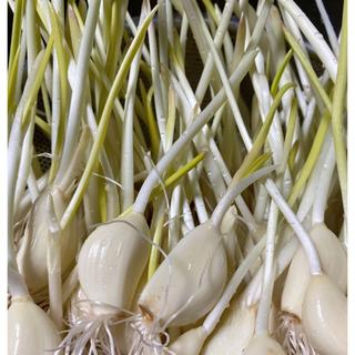 発芽ニンニクスプラウト40本約300g(野菜)