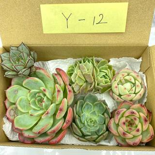 Y-12 多肉植物 韓国苗 寄せ植えセット(その他)