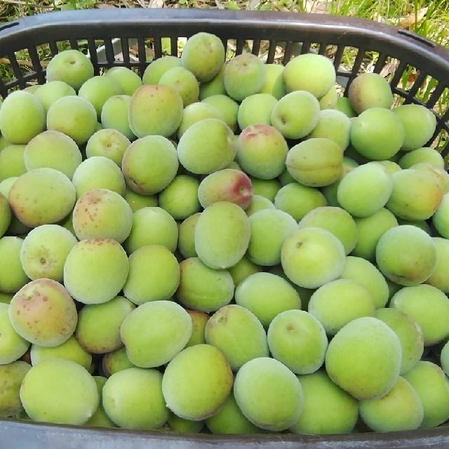 自然栽培 南高青梅 Mサイズ 3kg 無肥料 無農薬 鹿児島県産 食品/飲料/酒の食品(フルーツ)の商品写真