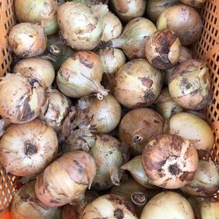 大人気!お買い得。訳あり、B品!淡路島南あわじ市産、新玉ねぎ 約10kg(野菜)