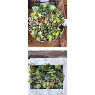 【専用】寄せ植え苗セット おまとめ購入◎苗のみ配送 ◎根あります(その他)
