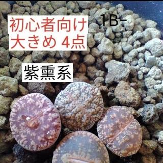 多肉植物 リトープス(その他)