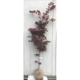 《現品》ノムラモミジ 樹高1.9m(根鉢含まず)30【野村/赤葉/苗木/紅葉】(その他)