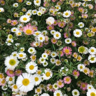 ★こぼれ種で花咲く!シリーズ①エリゲロン(源平小菊)種‼️(その他)