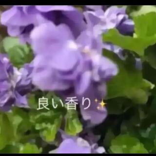 aa(ᵔᴥᵔ)♡パルマスミレ♡挿し穂苗♡グランドカバーにも♡良い香り(その他)
