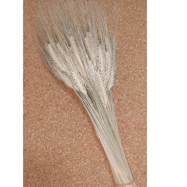 麦の穂。おうち時間にサービス中! ハンドメイドのフラワー/ガーデン(ドライフラワー)の商品写真